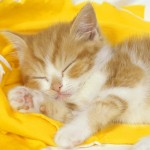 High resolution sleeping cat wallpaper