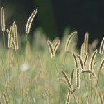 Bristle Grass wallpaper