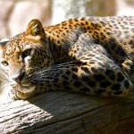 Beautiful HD leopard wallpaper