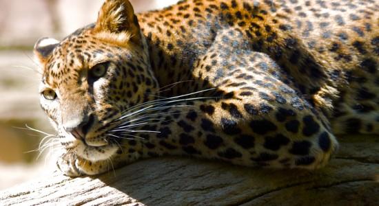 Beautiful HD leopard wallpaper