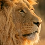 Majestic Lion Nature Wallpaper
