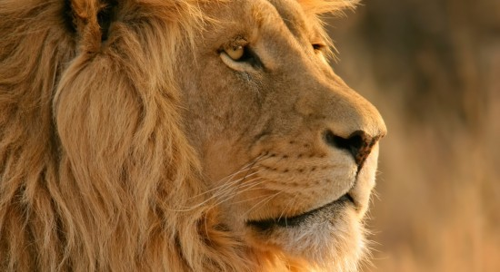 Majestic Lion Wallpaper
