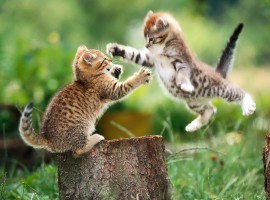 Kittens Playing Wallpapers