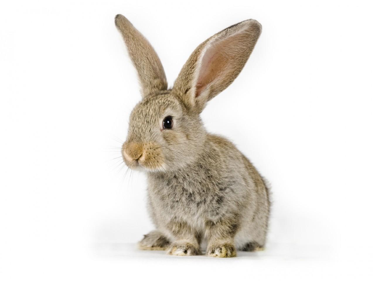 HD Adorable Little Bunny Wallpaper - HD Wallpapers