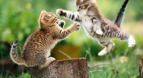 Kittens-Playing-Wallpapers