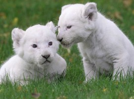 Baby White Lions