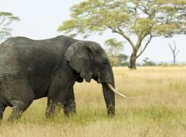 Elephant Wallpaper