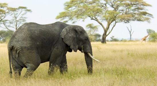 Elephant-Wallpaper