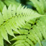 Fern leaf desktop wallpaper