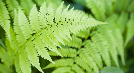 Fern-leaf-desktop-wallpaper