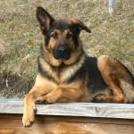 German Shepherd Dog Wallpaper