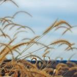 Harvest Breeze
