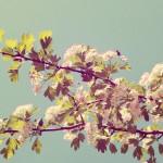 Honey Blossom
