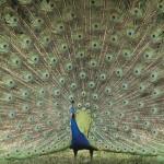 Majestic HD Peacock