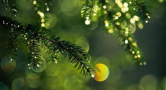 Pine-Needle-Dew