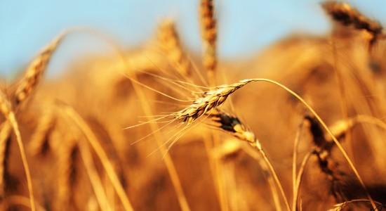 Wheat-Stem