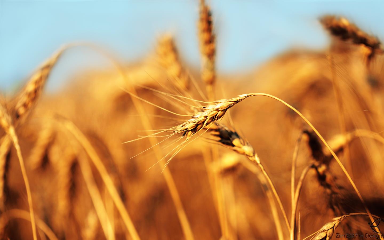 Wheat Stem