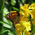 Butterfly Windows 7 wallpaper