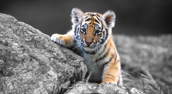 Adorable Tiger Cub