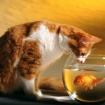 Cat and goldfish wallpaper