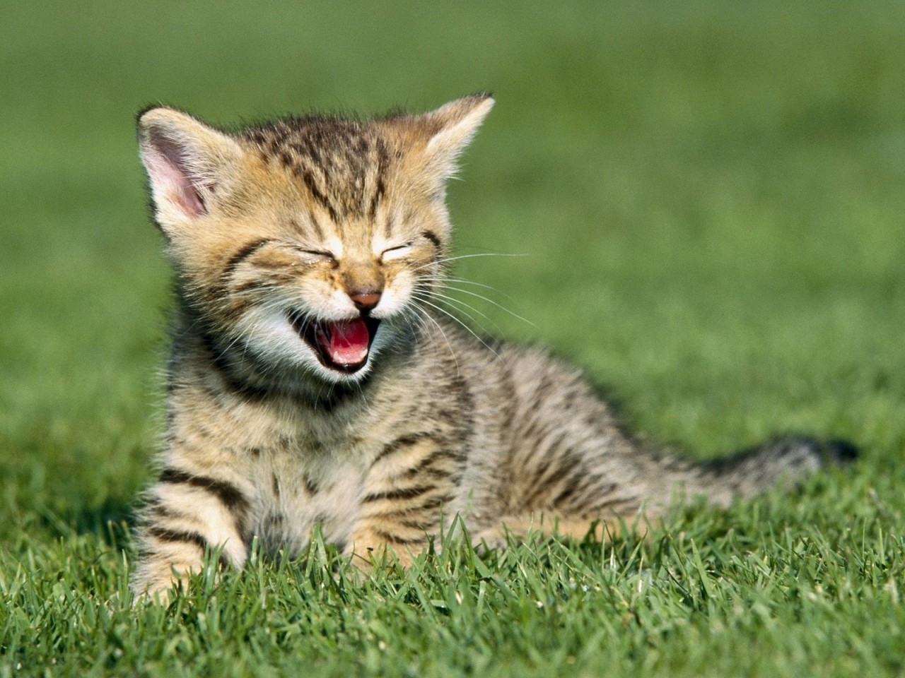 Yawning Cat Wallpaper Hd Wallpapers