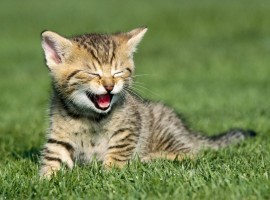 Yawning cat wallpaper
