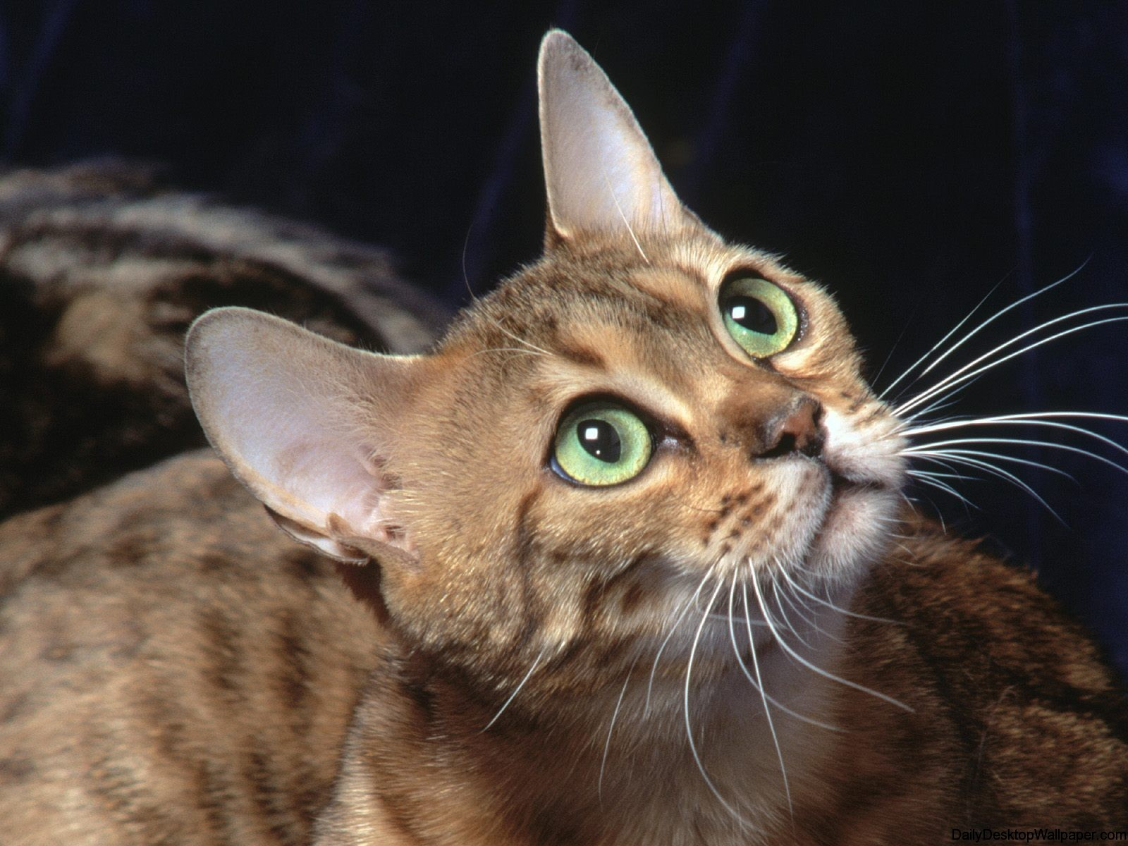 Wide eyed cat wallpaper