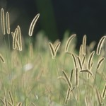 Bristle grass high resolution wallpaper