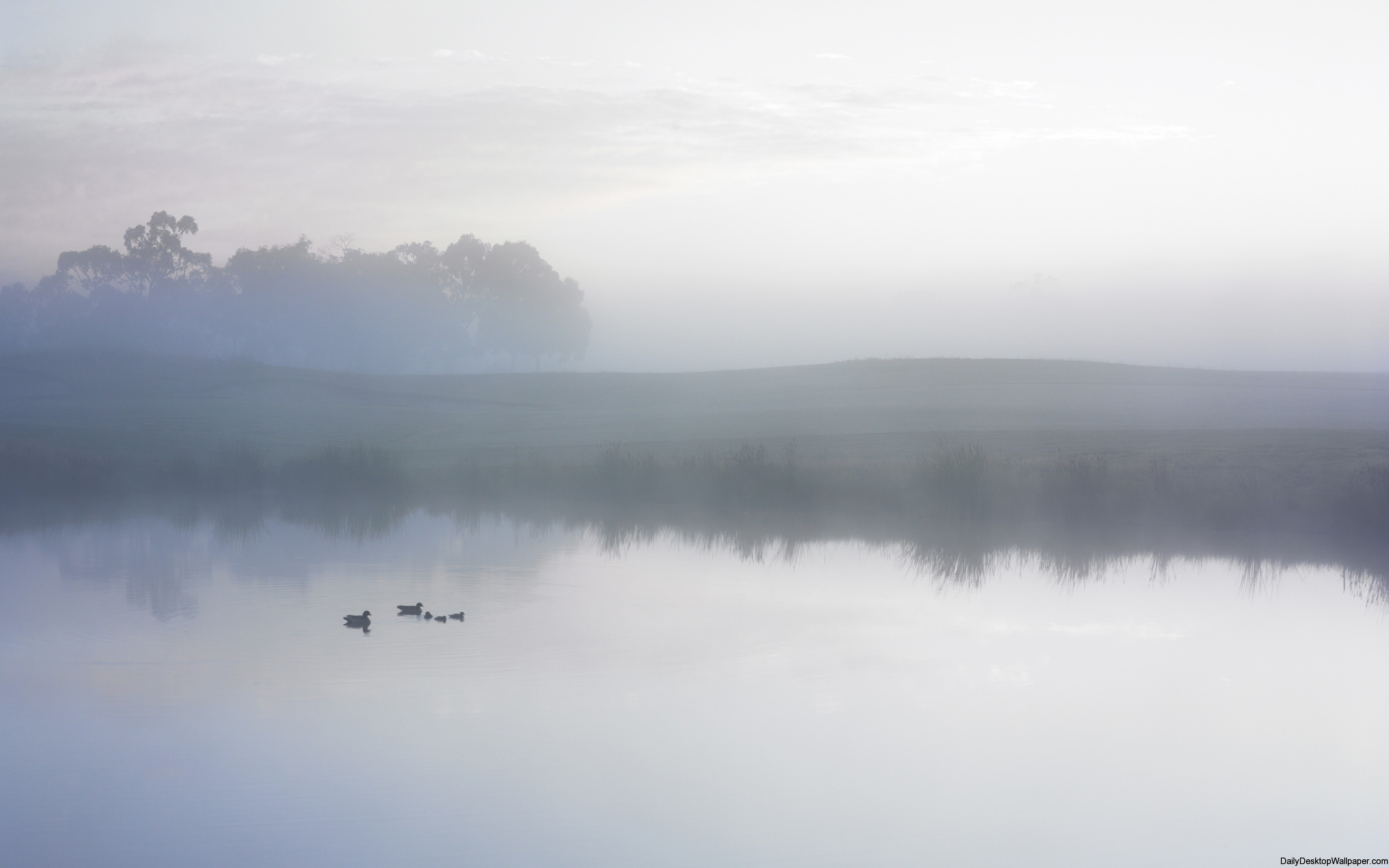 Ducks on a misty pond wallpaper