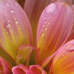 Flower water droplet wallpaper
