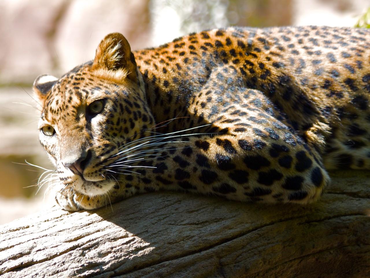 Beautiful HD leopard wallpaper - HD Wallpapers
