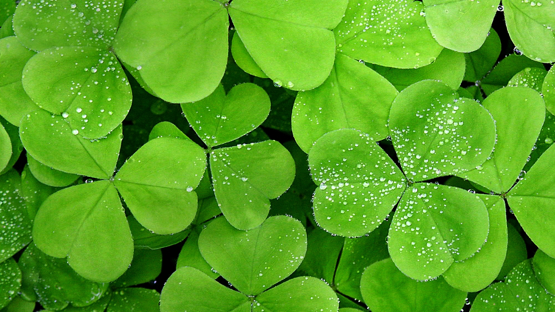 Water leaf wallpaper