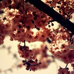 Beautiful Blossom nature wallpaper