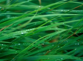 Up close blades of grass with water droplets wallpaper