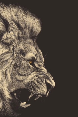 angry lion wallpaper hd