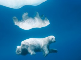 Reflective Polar Bear
