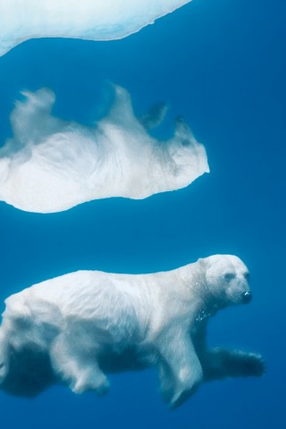 Reflective Polar Bear Hd Wallpapers