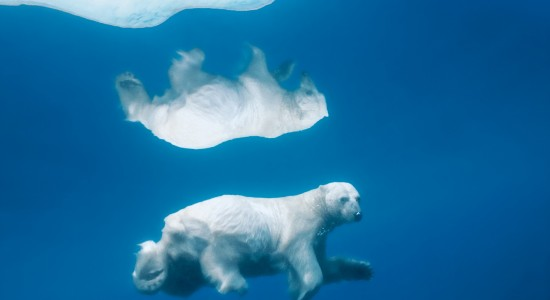 Reflective Polar Bear