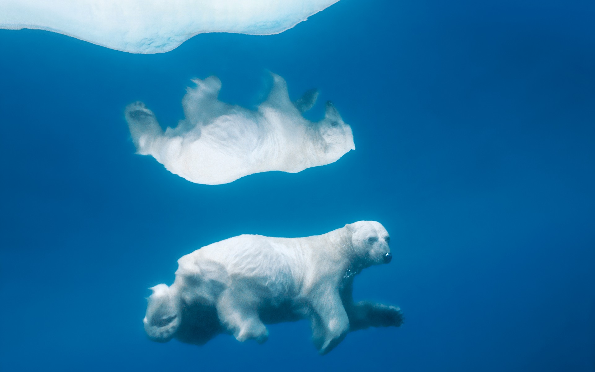 reflective polar bear - hd wallpapers
