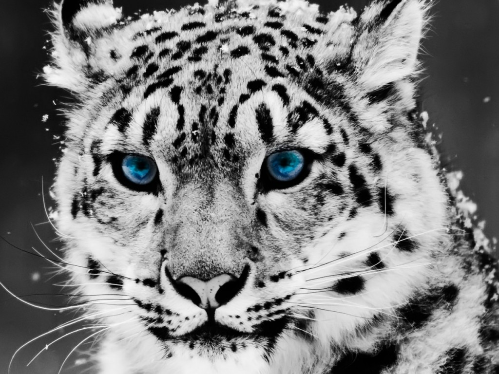 Snow Tiger - HD Wallpapers