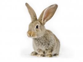 HD Adorable Little Bunny Wallpaper