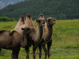3 Camels Wallpaper