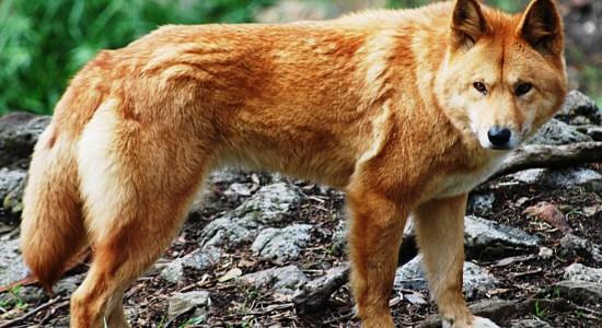 Dingo Dog Wallpaper