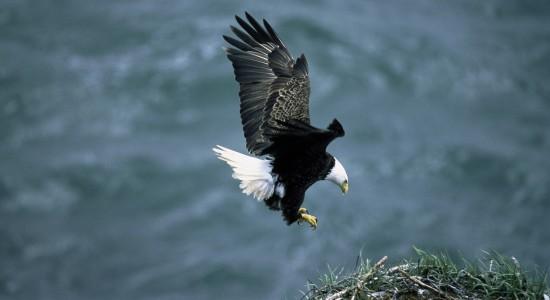 Bald Eagle Approaching Nest