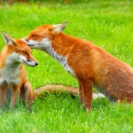 Red Foxes HD Wallpaper