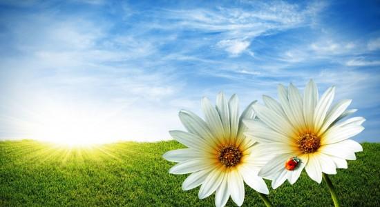 2 Sunflowers in the Sun