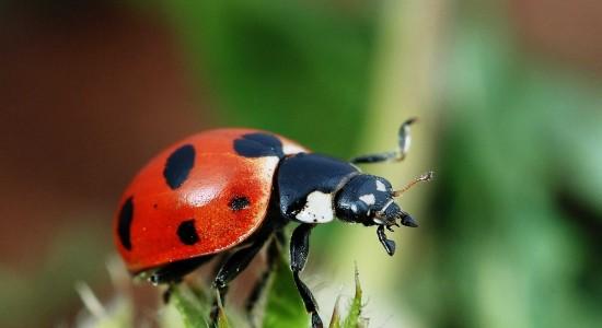 Close Up Ladybird