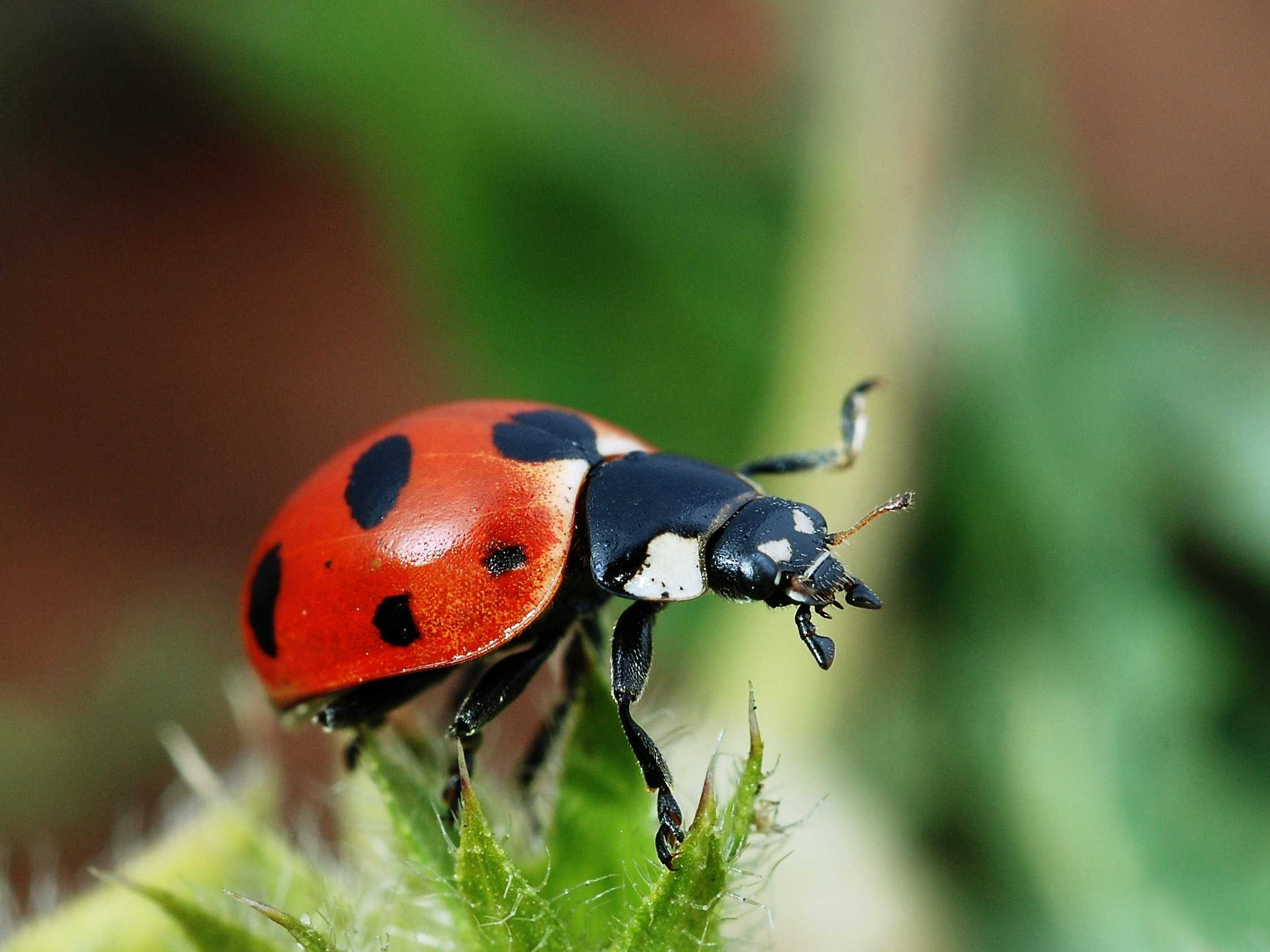 Close Up Ladybird