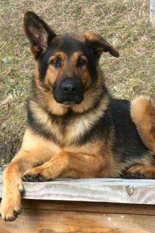 German Shepherd Dog Wallpaper Hd Wallpapers