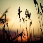 Grass silhouette wallpaper